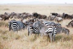 Herd of wildebeest and zebra grazing on grasslands of African savanna. Herd of wildebeest and zebra grazing together on grasslands of African savanna, seasonally Royalty Free Stock Photos