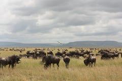 Herd of wildebeest and zebra in Tanzania stock photography