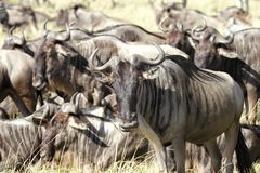 A herd of wildebeests Royalty Free Stock Photo