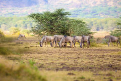Herd of wildebeests eats grass in Africa Royalty Free Stock Photography