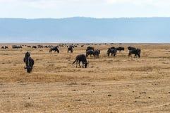 Herd of Wildebeests grazing Stock Photos