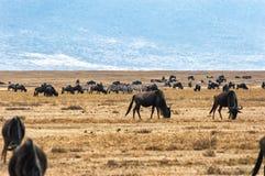 Herd of Wildebeests grazing Stock Images