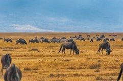 Herd of Wildebeests grazing Royalty Free Stock Images