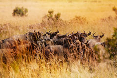 Herd of wildebeests having rest during migration Stock Photography