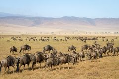 Herd of wildebeests in Ngorongoro Stock Photos