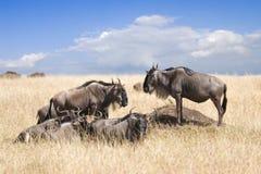 Herd of wildebeests Royalty Free Stock Photography