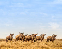 Herd of Wilderbeast Stock Photo