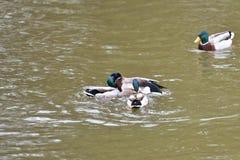 Herd of wildlife mallard and ducks swimming and settling on the water. Herd of wildlife ducks swimming and settling on the water Stock Images