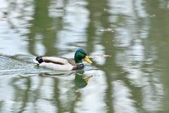 Herd of wildlife mallard and ducks swimming and settling on the water. Herd of wildlife ducks swimming and settling on the water Stock Image