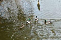Herd of wildlife mallard and ducks swimming and settling on the water. Herd of wildlife ducks swimming and settling on the water Royalty Free Stock Images
