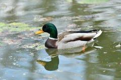 Herd of wildlife mallard and ducks swimming and settling on the water. Herd of wildlife ducks swimming and settling on the water Royalty Free Stock Photos