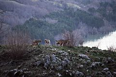 Wolf pack. A herd wolf on the lake barrea in abruzzo national park in italy stock images