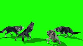 Herd of Wolves Attack Back 3D Rendering Green Screen Animals