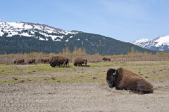 Herd of Wood Bison Stock Images