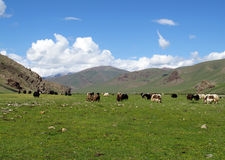 A herd of Yak Stock Photos