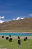 Herd of Yak grazing in Himalaya Stock Photos