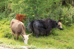 The herd of yaks is grazed Stock Photography