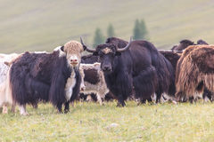 The herd of yaks is grazed in foothills Royalty Free Stock Photo