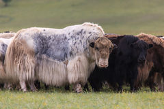 The herd of yaks is grazed in foothills Stock Image