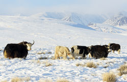Herd of Yaks. In a highlands steppe royalty free stock photo