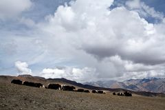 Herd of yaks in Himalaya Royalty Free Stock Images