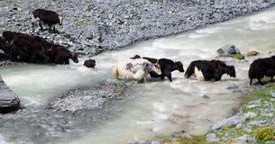 Herd of yaks passes through the mountain river Royalty Free Stock Photo