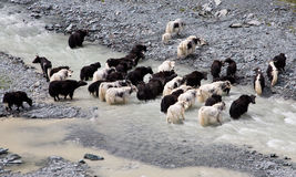 Herd of yaks passes through the mountain river. 