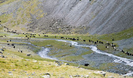 Herd of yaks passes through the mountain river Royalty Free Stock Images