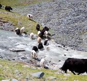 Herd of yaks passes through the mountain river Stock Photography