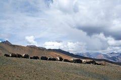 Herd of yaks. On the Shey La pass in the Nepal Himalaya Stock Image