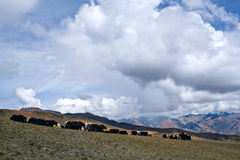 Herd of yaks Stock Images