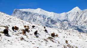 Herd of yaks on snow in Annapurna Area Stock Image