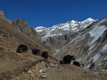 Herd of yaks on the way to Thorung La Pass Stock Photography