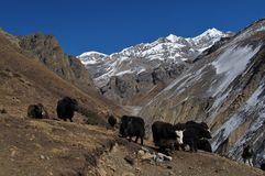 Herd of yaks on the way to Thorung La Pass, Nepal Royalty Free Stock Photography