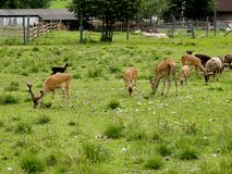 A herd of young animals walks. Stock Photography