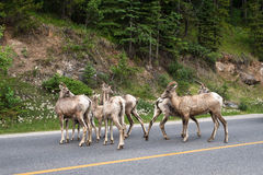 Herd of young bighorn sheep crossing on highway Stock Photography