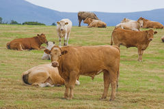 A herd of young bulls Stock Photos