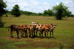 A herd of young bulls. In field Royalty Free Stock Photo