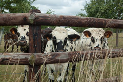 Herd of young bulls for breeding, in Normandy, France Royalty Free Stock Photography