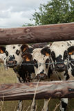 Herd of young bulls for breeding, in Normandy, France Stock Images