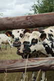 Herd of young bulls for breeding, in Normandy, France Royalty Free Stock Photo