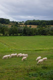 Herd of young bulls for breeding, in Normandy, France.  Stock Photos