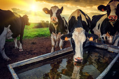 Herd of young calves drinking water. At sunset Stock Photo
