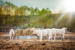 Herd of young calves eating at sunset. Herd of young calves eating hay at sunset Royalty Free Stock Photo