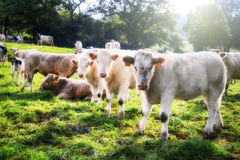 Herd of young calves Stock Photo