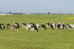 A herd of young cows and heifers grazing in a lush green pasture of grass on a beautiful sunny day. Black and white cows in a