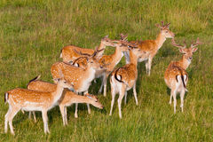 A herd of young deer. Royalty Free Stock Photography