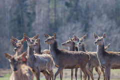 A herd of young deer in the reserve Stock Images