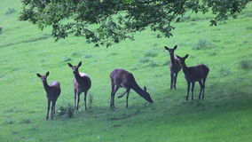 Herd of young deers stock video footage