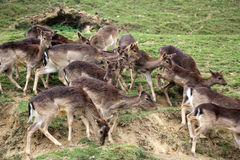 A herd of young deers Stock Image